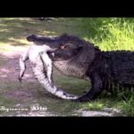 Alligator eats Alligator: Images can bring the nightmares