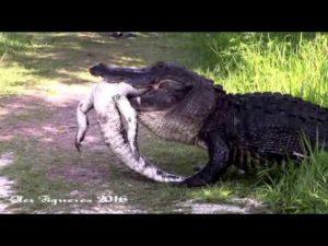 Alligator frisst Alligator: Bilder die Alpträume bescheren können