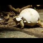 Baby Turtle uses eggshell as tanks