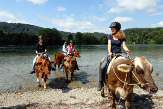 Cow-Trekking