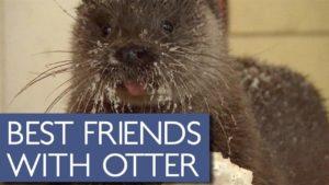 Die entzückende Freundschaft eines wilden Otters mit einem älteren Mann
