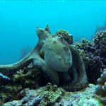 Fighting Octopus: Lorsque calamars se battent