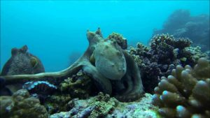 Octopus Fighting: Når blekksprut kjempe
