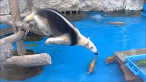 Anteater steals ducks the feed