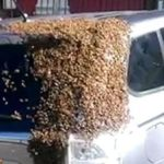Swarm of bees followed over a day a car