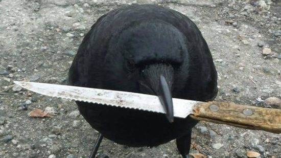 Canuck, the crow, steals knife from the scene