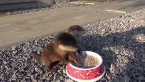 Feed lydbilledet på Otter babyer
