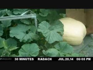 Watching a pumpkin in time-lapse while growing