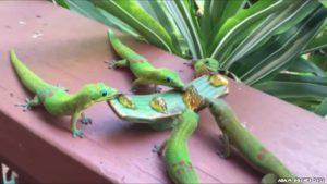 Geckos med Yoshi Sounds