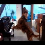 Dog plays the piano and sings