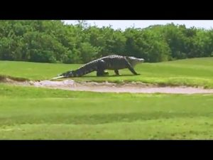 The other day on the golf course: A giant alligator taking a walk