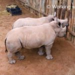 As Rhino babies cry, when the milk originates