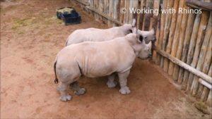 Som Rhino bebisar gråter, När mjölken har sitt ursprung