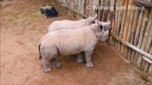 Som Rhino babyer græde, når mælken stammer