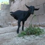 Legged goat has learned to walk