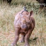 The life of a baby rhino from a first person perspective