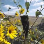 Kitten stuck in a sunflower