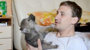 Pouco aprendizagem Lobo do bebê, como uiva realmente