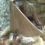 Orangutan builds a hammock
