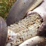 Python slikt krokodil in Australië