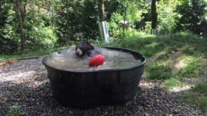 Black Bear svalnar i poolen
