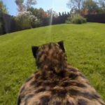 Zoo binds Cheetah GoPro on the back