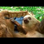 Two sloths play in a basket