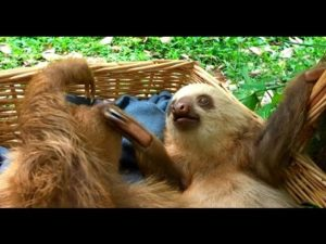 İki Sloths bir sepet içinde oynamak