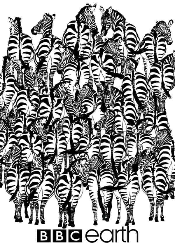 Whoever finds the badger in the herd of zebras?