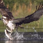 Osprey Jakt i Slow Motion