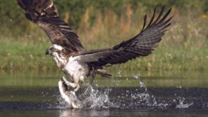 Osprey Hunting in Slow Motion