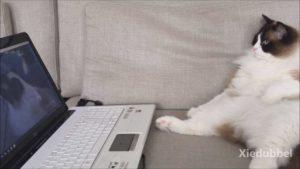 Timo kot chłodzenie na kanapie i oglądał jego koi znajomych na laptopa