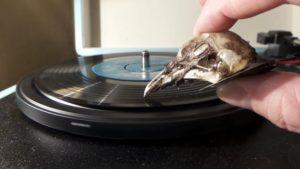 Totenkopf einer Möwe als Tonabnehmer für eine Schallplatte