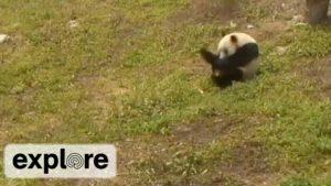 Der Panda Hua Rong liebt es Purzelbäume zu schlagen