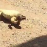 Lizard si rifugia in ombra