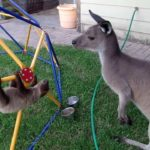 Sloth baby wants to befriend Kangaroo