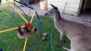 Sloth baby wants to befriend Kangaroo