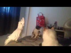 Kakadu later til å være en katt