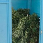 Portable toilet full of Marijuana