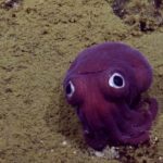 Rossia pacifica: Bobtail squid with Glubschaugen