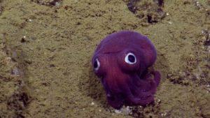 Rossia Pacifica: Bobtail squid med Glubschaugen