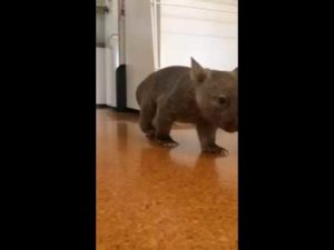 Wombat Baby in Slow-Motion