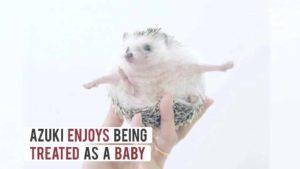 Azuki, the sweetest Hedgehog Japan
