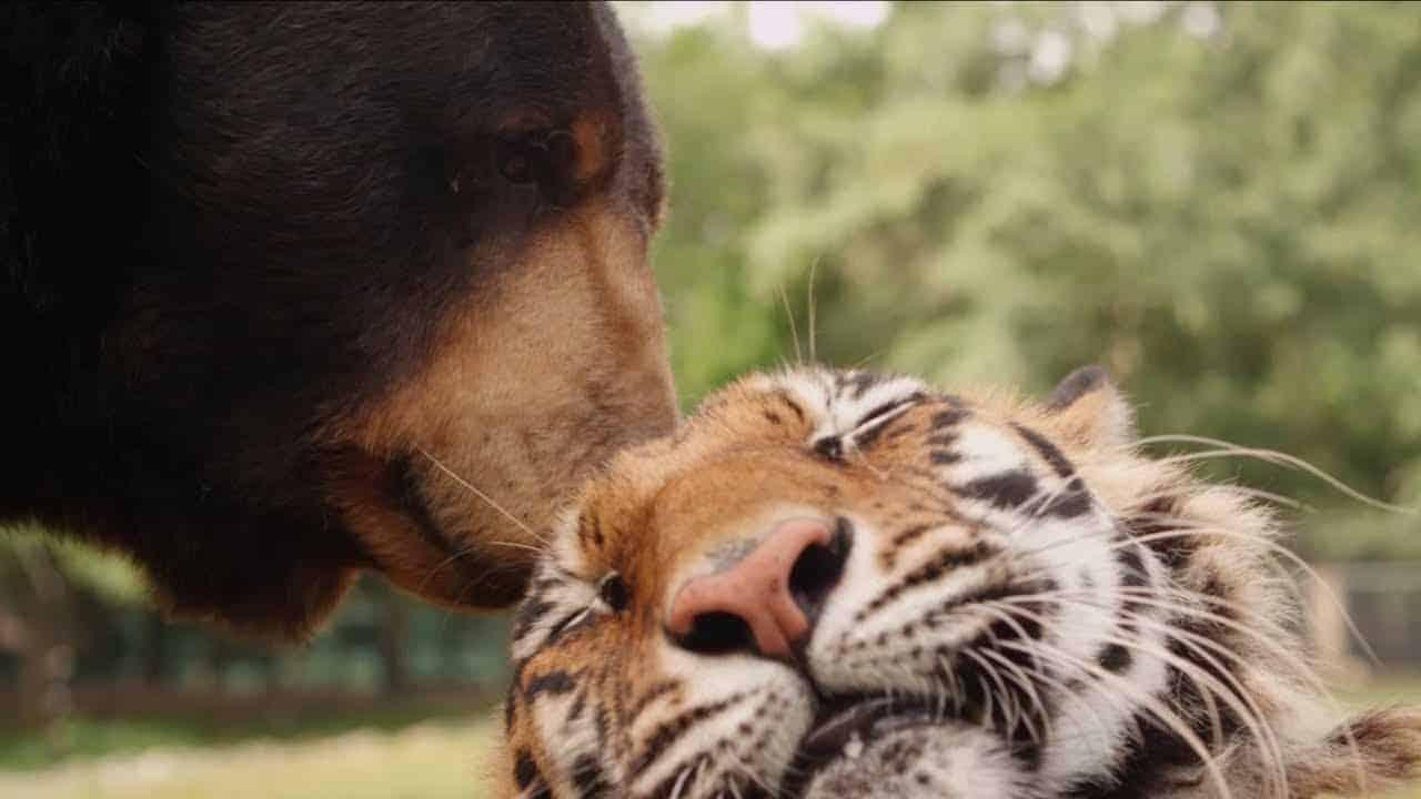 Wenn Ein Löwe Ein Tiger Und Ein Bär Beste Freunde Sind Dravens