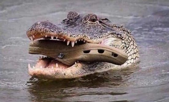 Crocodile mother carries the baby in its mouth