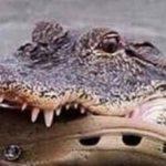 Krokodyl matka nosi dziecko w ustach