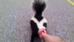 skunk libre d'une boîte Coke