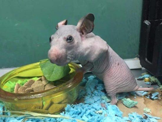 terkedilmiş, tüysüz Hamster biraz kazak alır, Soğuk onu korumak