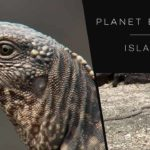 Iguana surrounded and chased by snakes