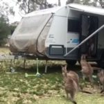 a kangaroo you visited in the caravan, you lure it out and it comes with lots of friends again